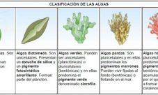 ¿Qué son las algas en el reino protista?