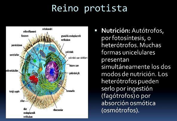 Cómo es la nutrición del reino protista