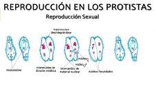 ¿Cómo es la reproducción del reino protista?